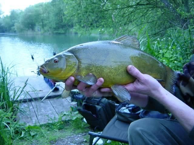 Рыбка по имени линь фото