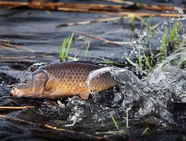 Сазан - желанный трофей любителей рыбалки. фото