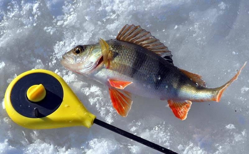 Как увеличить улов окуня зимой со льда фото