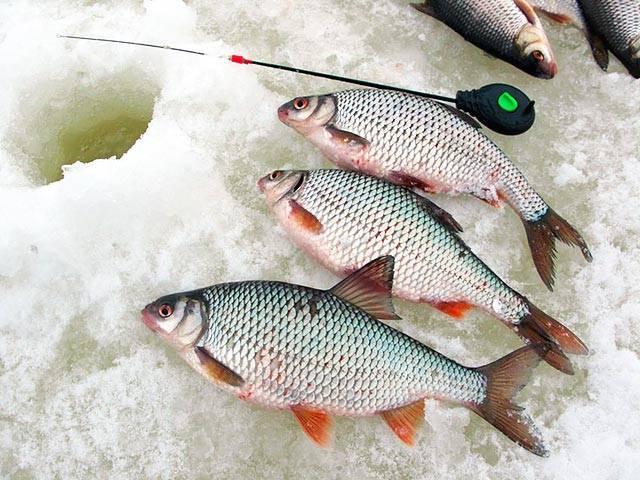 Как успешно поймать плотву зимой фото