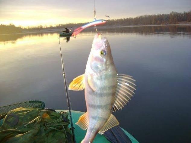 Ловля судака с лодки с помощью отвесного блеснения фото